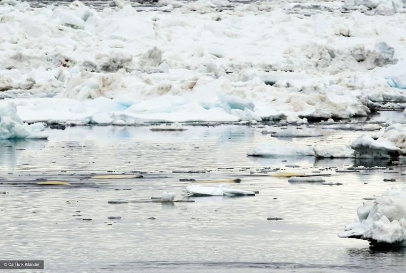 Svalbard, pod of beluga whales