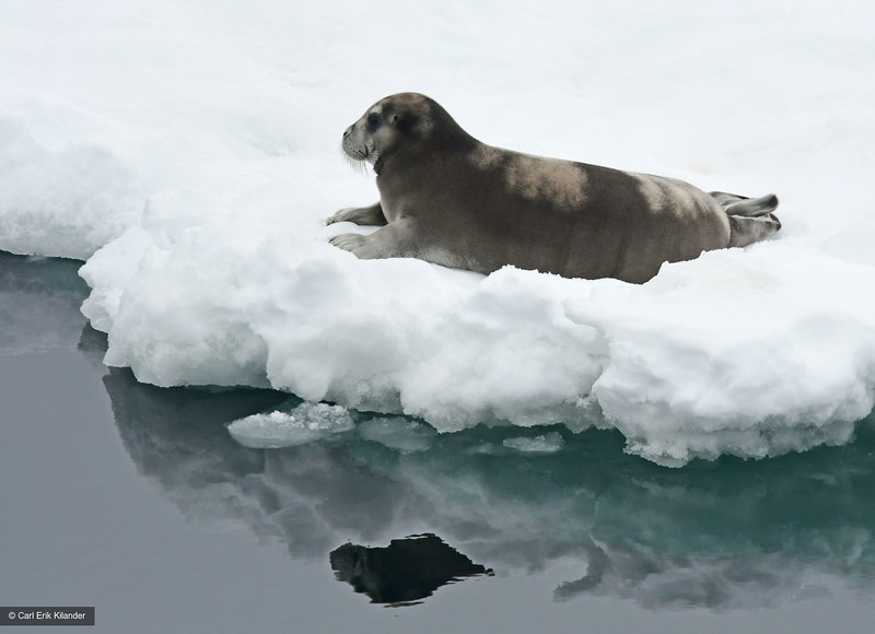 Svalbard, Storkobbe, bearded seal