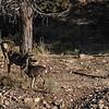 A Rangale Of Mule Deer