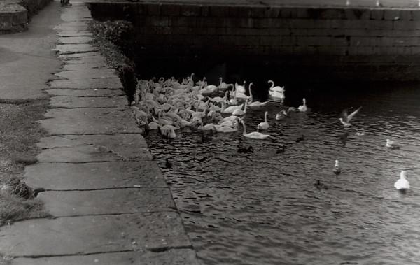 Swans in Galway, Ireland 2006