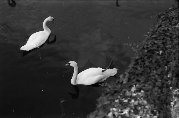 18 7-16-06 Galway swans