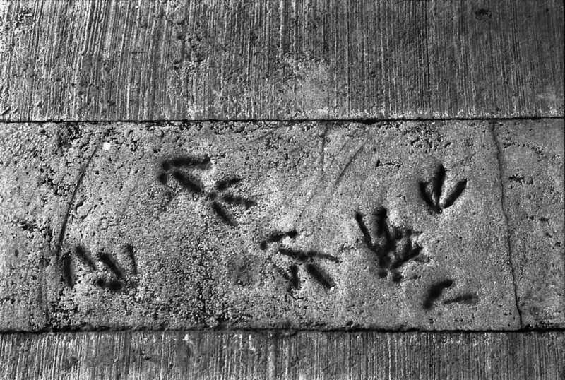 8 7-1-4-06 Dingle Harbor bird tracks
