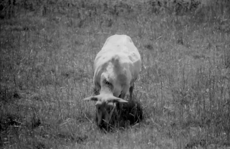 36 7-15-06 sheep