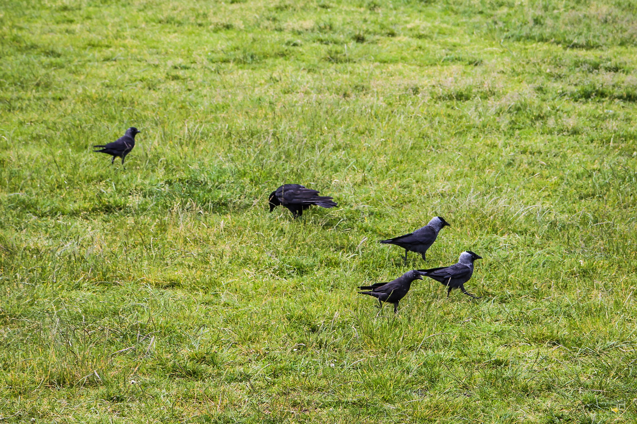 Jackdaw's march