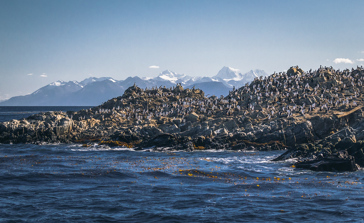 Wild sea birds colony