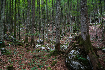 Forest around Bohinj lake