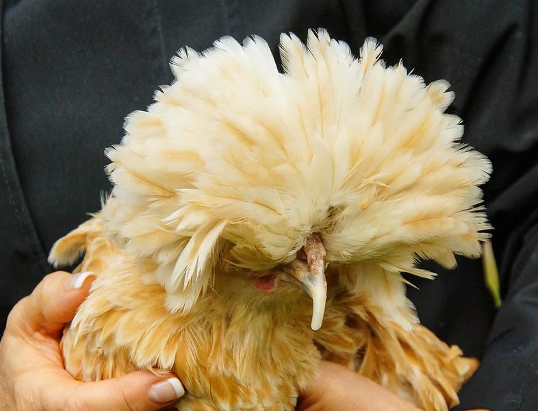 lady Gaga, chicken on Shelbourne Farm