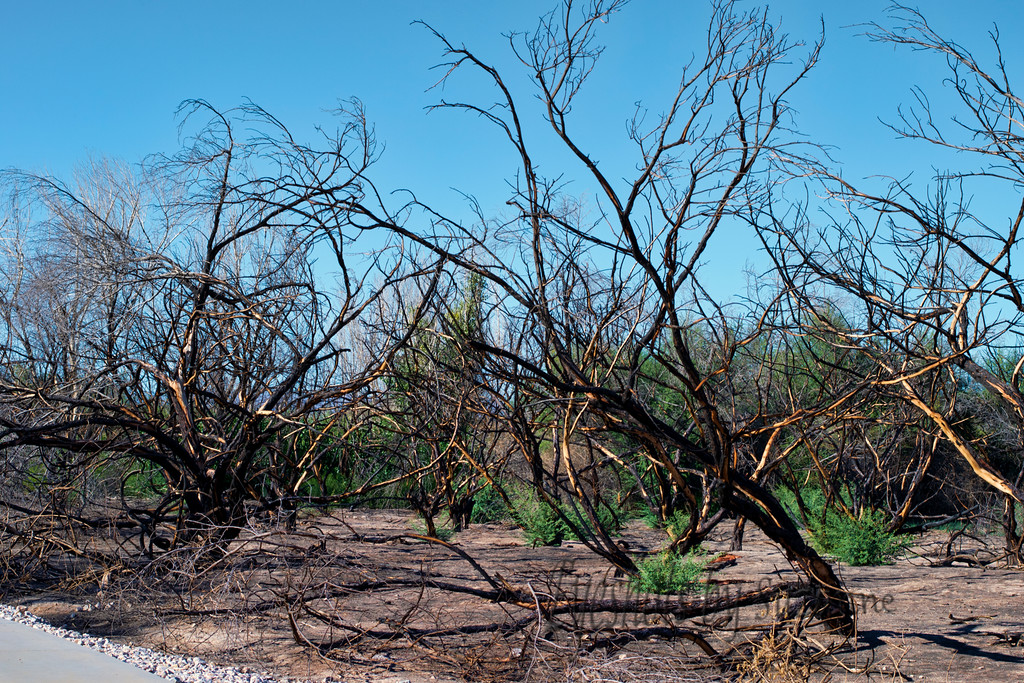 """Clark County Wetlands Park<br /> <br /> The fire of March 2014<br /> <br /> The dark colors and tree formations gave this area a """" spooky"""" feeling compared to the lush vegetation of the wetlands."""