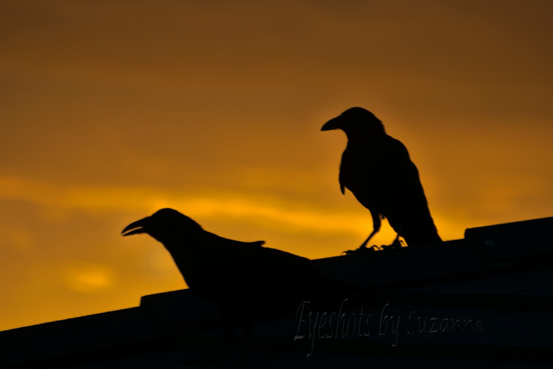 """THE RAVEN(s)<br /> """"Open here I flung the shutter, when, with many a flirt and flutter, <br /> In there stepped a stately Raven of the saintly days of yore.""""<br /> <br /> I was checking the sky out my front windows to determine if there was a sunset worth capturing, when these HUGE black birds landed in front of the window to eat the plums dropped from the purple leaf plum tree.<br /> I grabbed my camera and headed out the front door...they barely noticed med...and eventually flew to land on the neighbor's roof.<br /> Their silhouette against the golden sunset was very ominous!"""