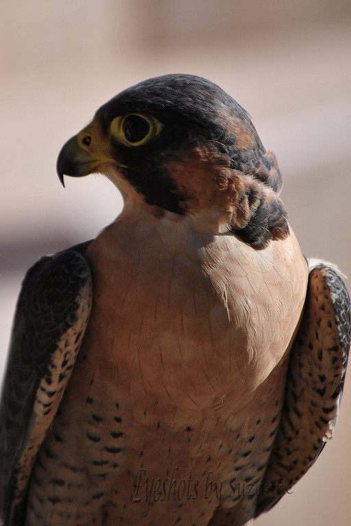 The Barbary Falcon, beautiful bird of prey, Springs Preserve, Las Vegas, NV