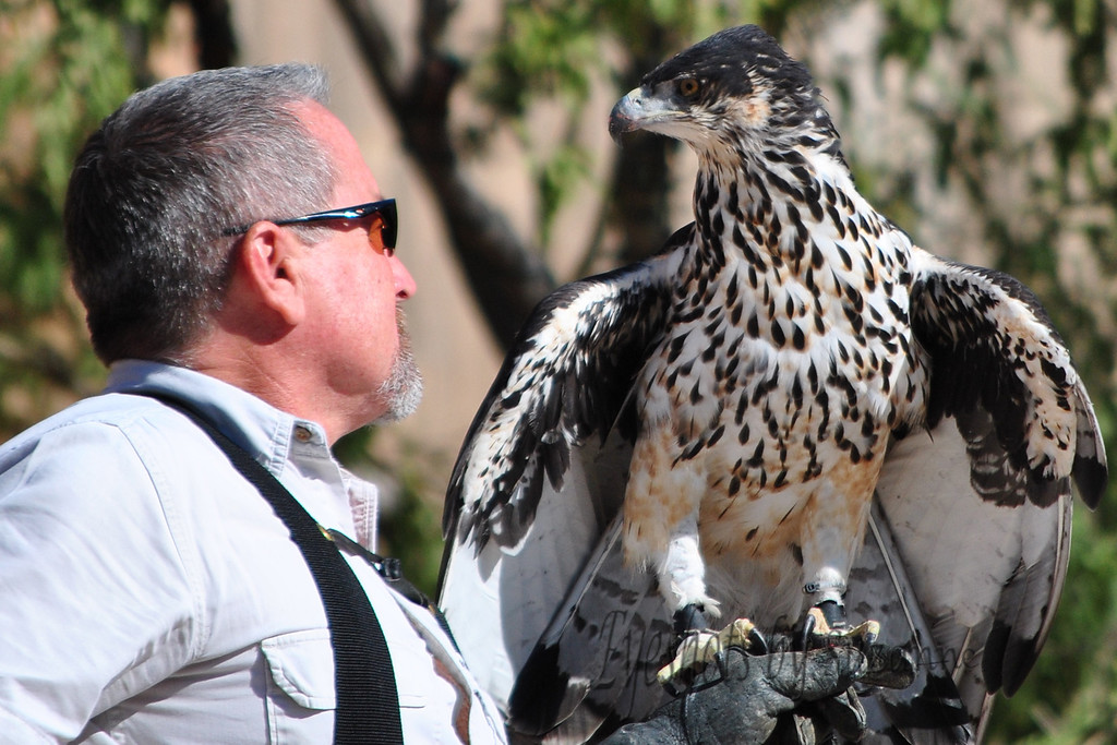 "The African Hawk Eagle at the Springs Preserve, Las Vegas, NV<br /> Venture away from ""the Strip""  - lots of other things to do!"
