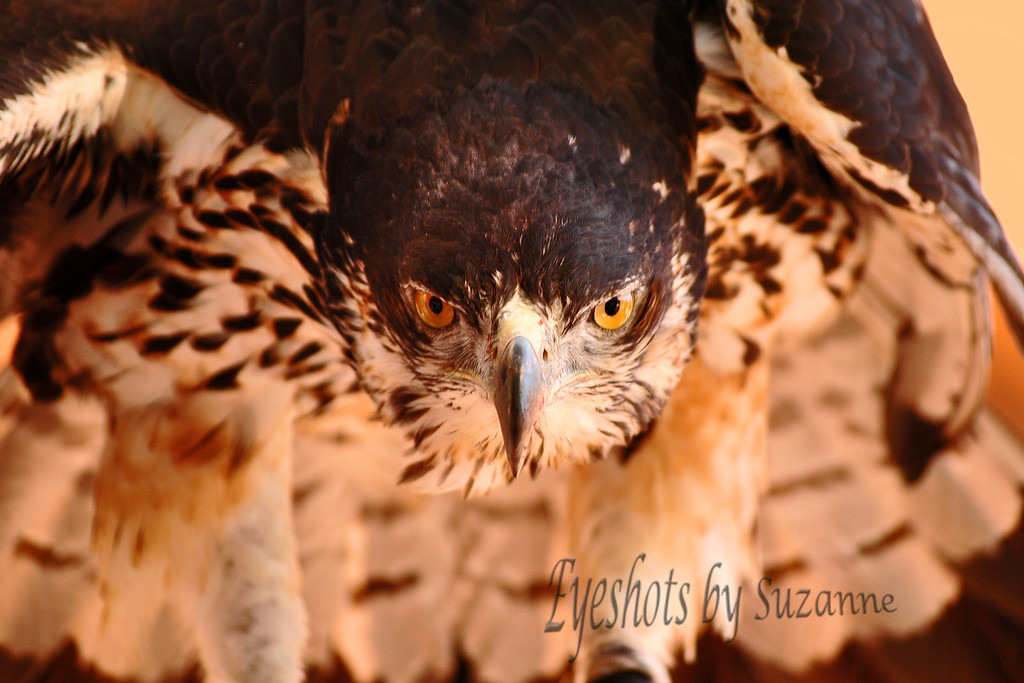 The African Hawk Eagle at the Springs Preserve, Las Vegas, NV