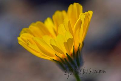 Desert Sunflower Death Valley, CA