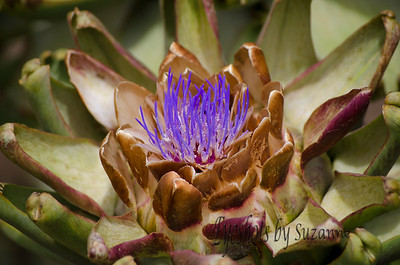 Unique Artichoke flower.  I wanted to see the old Lighthouse on Point Loma in San Diego.  Carrying my camera around, a young lady noticed me taking pictures and asked if I had seen the Artichoke flower near the Lighthouse.  I had never seen an Artichoke flowering it was quite beautiful.