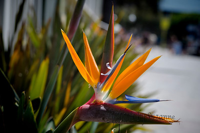 Bird of Paradise The beautiful Bird of Paradise is native to South Africa and is grown mainly in Hawaii and California.  When given to a man by a woman it is a symbol of faithfulness.