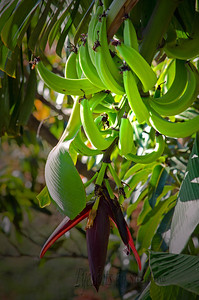 Fresh bananas from a tree right outside our door in Costa Rica.  I had never seen bananas and pod growing on a tree like this.  Some say the green bananas offer more nutrients.