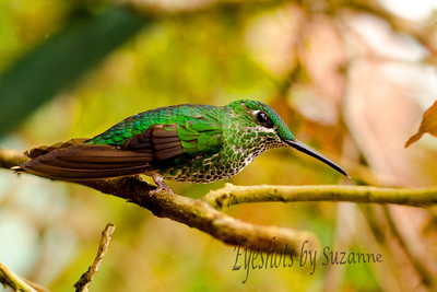 Green Crowned Brilliant Female - a medium sized hummingbird native to Costa Rica.