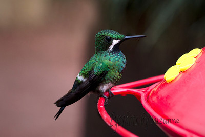 Another of the beautiful hummingbirds at the LaPaz Waterfall Gardens.  This bird, much smaller in size, is the Green Thorntail.  Still a larger hummingbird that I have seen in AZ.  View larger size to see the unique feather structure - looks like tiny seashells.  I love hummingbirds!
