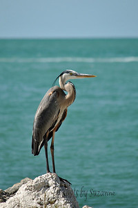 "Colorful ""S"" Beautiful Heron on Clearwater Beach, FL"