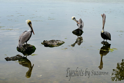 I love Pelicans! Bird Sanctuary, Key Largo, Florida