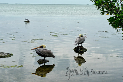 I Love Pelicans, and couldn't resist these beautiful birds' reflection in the Bay. Wild Bird Center, Tavernier, Key Largo, FL