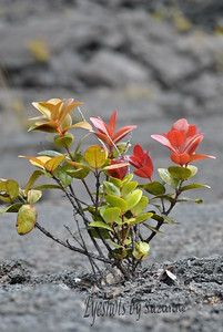 Beauty in Volcano National Park, Hilo, Big Island, Hawaii.  It's amazing that these beautiful plants sprout from the depths of the cooled lava.