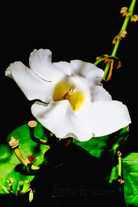 White Hanging Orchids