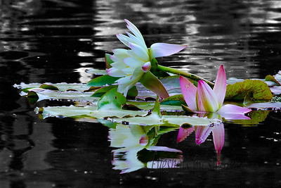 "In the Victorian era, the Water lily meant absolute truth & purity.  It is described as the ""Queen of the Water""."
