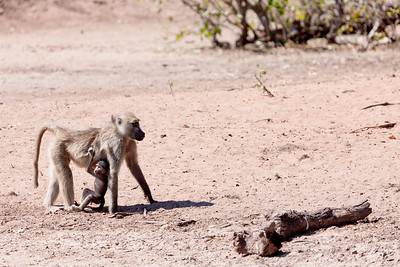 Monkeys along the Chobe river, Botswana.