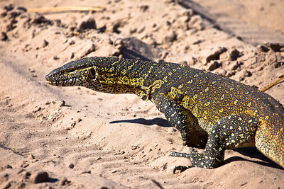 Lizard along the Chobe river, Botswana.