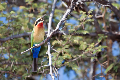 Beeater along the Chobe river, Botswana.