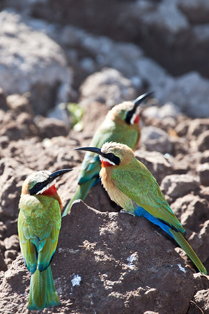 Beeaters along the Chobe river, Botswana.