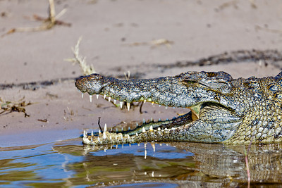 Crocodile along the Chobe river, Botswana.