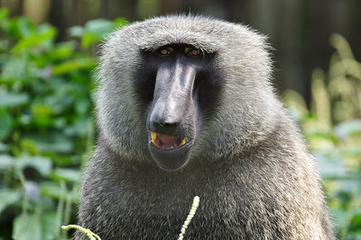 Olive baboon, LWC, Limbe, Douala.