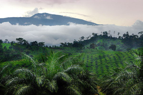 Tea plantations and Mt Cameroun (a 4100m high volcano), Tiko, West Coast, Cameroon.