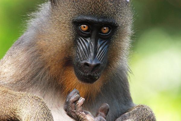 Drillus, Limbe Wildlife Center, Cameroon.