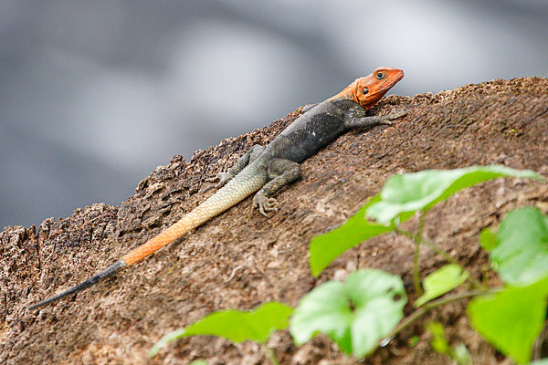 Red-headed agama lizard, Idenao, West coast, Cameroon.