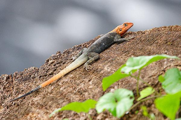 Red-headed agama lizard, Idenao, West coast, Cameroon.