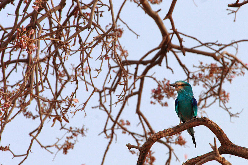 Abyssinia Roller, Waza National park, Extreme-North, Cameroon.
