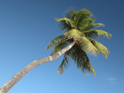 Palm tree from Casa de Campo, Dominican Republic.