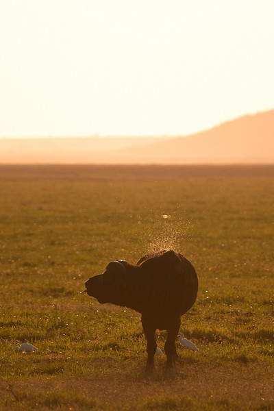 Buffalo, Amboseli park, Kenya.