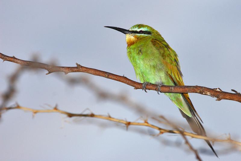 Bee-eater, Baringo lake, Kenya.