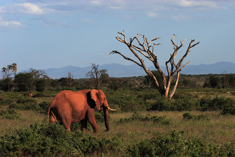 Elephant walking out the muddy river, Samburu, Kenya.