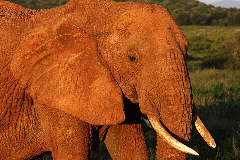 Old elephant at sunset, Samburu, Kenya.