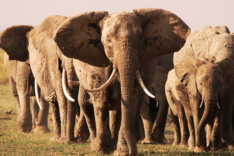 Elephants from Aboseli, Kenya.