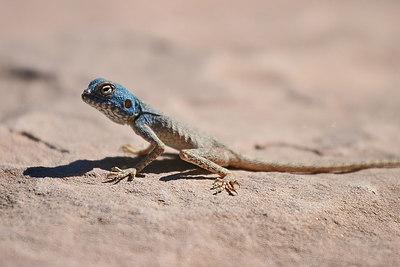 Blue lizard, Petra, Jordan.