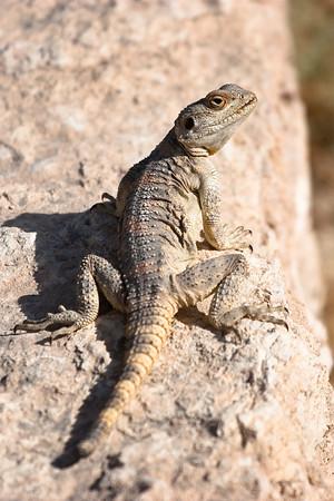 Lizard, Jordan.