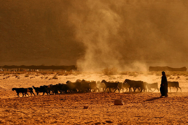 A bedouin leading his goats in the dust and heat, Wadi Rum desert, Jordan.