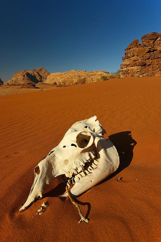 A camel skull, Wadi Rum desert, Jordan.