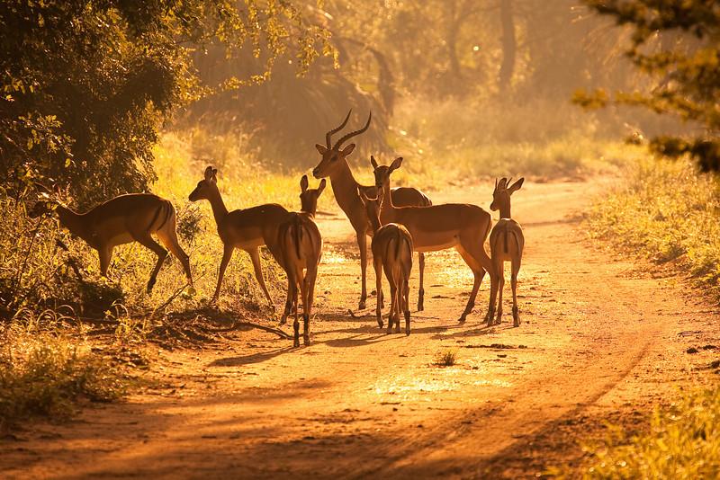 Impalas, Gorongosa National Park, Mozambique.
